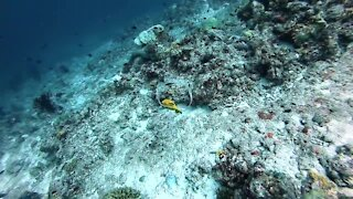 Diver throws underwater bubble rings around puffer fish