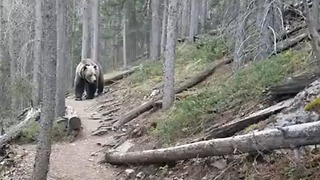 Hikers In Canada Encounter Large Grizzly Bear In Forest