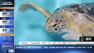 Rescued Florida endangered sea turtle finds new home in Mississippi
