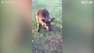 Un kangourou devient le meilleur ami de cette famille