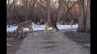 Lots of Deer sightings since lockdown