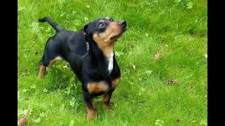 Dachshund really wants to be shepherd dog