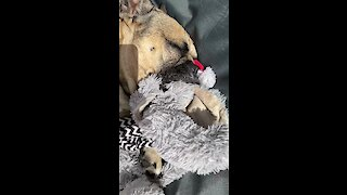 Frenchie soothes himself to sleep with comfort teddy