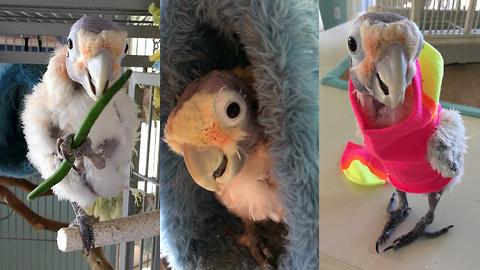 Fefe The Plucking Cute Cockatoo | CUTE AS FLUFF