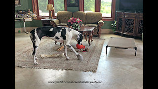 Great Dane squeaks ball to make himself howl