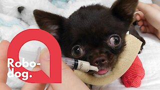 A paralysed Chihuahua can now walk