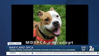 Queenie the dog is up for adoption at the Maryland SPCA