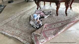 Playful Upside Down 5 Month Old Great Dane Puppy