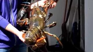 Have you ever seen a giant lobster?