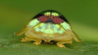 Beautiful ruby gold target tortoise beetle from Ecuador