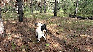 Labrador and Cane Corso, desire to dominate