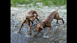 Jasper and Winston Having A Fun Romp At the Creek