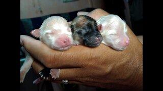 Mini Pomeranian Cute and Funny