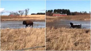 Dancing on ice USA: bison special edition