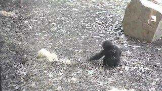 Cute baby gorilla delights visitors at Kansas City Zoo