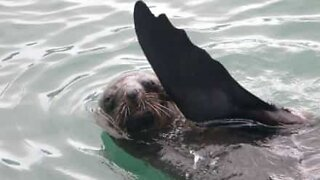 Seal spotted in the River Thames in London