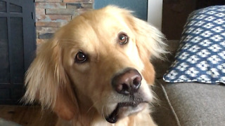 Golden Retriever head-tilts when asked to go swimming