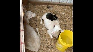 Laziest Barn Cat in the World!