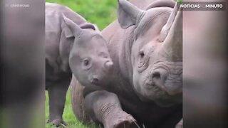 No dia mundial do rinoceronte este filhote faz tudo para ganhar atenção!