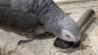 Parrot percussionist plays music like a boss