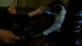 Ferret plays tug of war with kitten