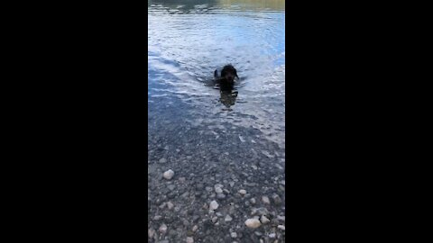 Funny video dog swimming