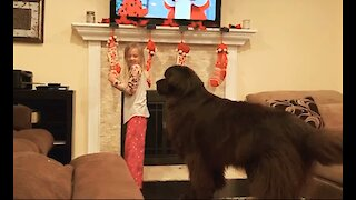 Little girl scuffles with massive Newfoundland