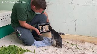 Lonely penguin watches 'Pingu' every day