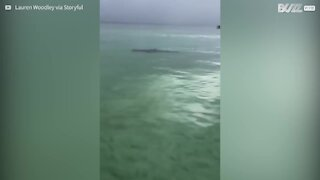 Florida: avvistato squalo martello