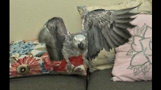 African Gray Parrot - Recall