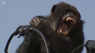 How to Survive a Chimpanzee Attack