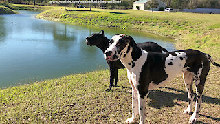 Gentle Great Danes Enjoy Watching Ducks While They Play