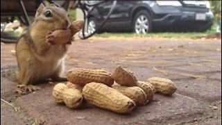 Chipmunk eating peanuts wow