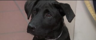New therapy dog 'Blaze' to help Las Vegas first responders with PTSD