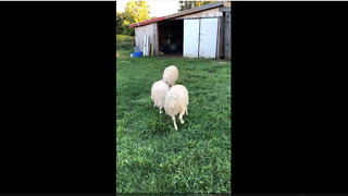 Hilarious sheep show off their playful side