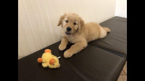 Golden retriever pup rescuing his treat