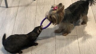 Ferret and Yorkie play an epic game of tug-of-war