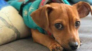 Leken hund kan ikke fordra å være adskilt fra vennen sin