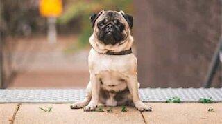 Wheelchair changes paraplegic pug's life