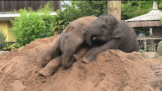 Remarkable elephant baby survives disease to play with sister