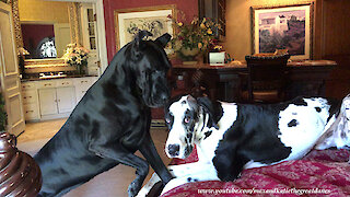 Cat Watches Funny Great Danes Play in Bed