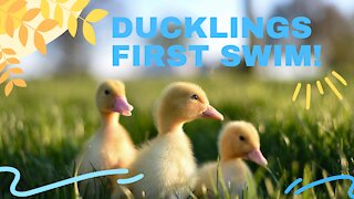 Cute Baby Ducklings First Bath!