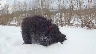 Tibet Terrier dog loves the snow