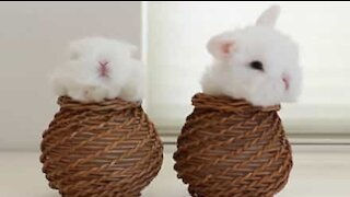 Disse kaninungene mediterer i kurven sin
