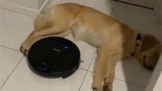 Ce chien a vraiment un sommeil profond