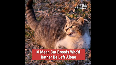 10 Mean Cat Breeds Who'd Rather Be Left Alone