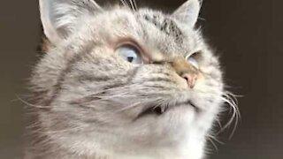Un chat vampire au visage diabolique!