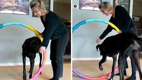 Great Dane begins obstacle training due to fear of heights