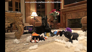 Happy Great Danes Love To Destuff And Desqueak Their Toys