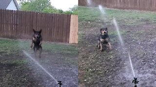 Dog playing with water sprinkler